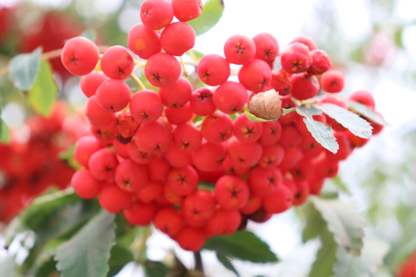 Foto von roten Beeren an einem Strauch, Nahaufnahme